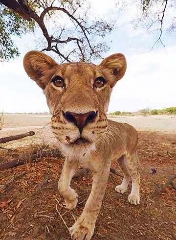 Lion 360